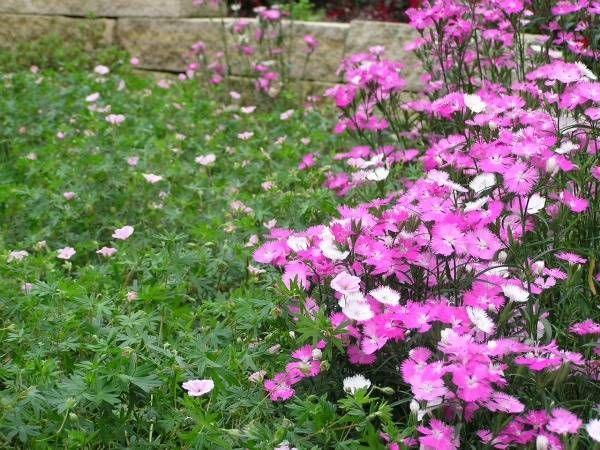 View Image 'Dianthus and Hardy Geranium'