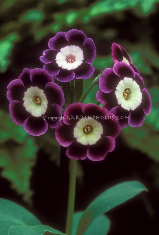 Primula auricula 'Stonnal' auricula primrose in purple and lavender and white flowers