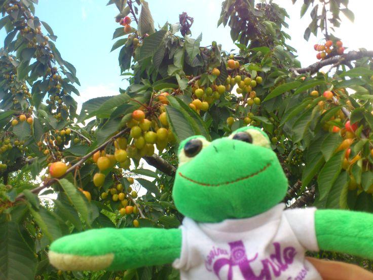 Ando en El Bierzo. Se quedo con ganas de comer alguna cereza, pero aún no estaban maduras.