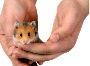"""How to Handle your Hamster."" The Siberian Hamster was my oldest child's first (hamster)"
