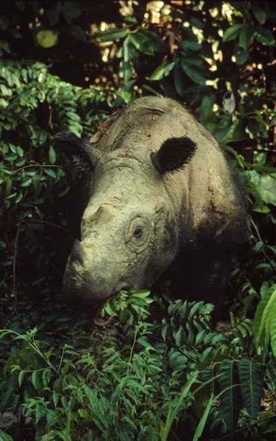Sumatran rhinoceros Dicerorhinus sumatrensis in Sumatra, Indonesia.