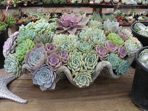 SUCCULENT PLANT ECHEVERIA is so beautiful, have many colors and container is also stunning....love this scene!!