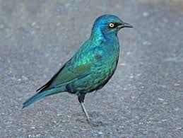 Image result for cape starling