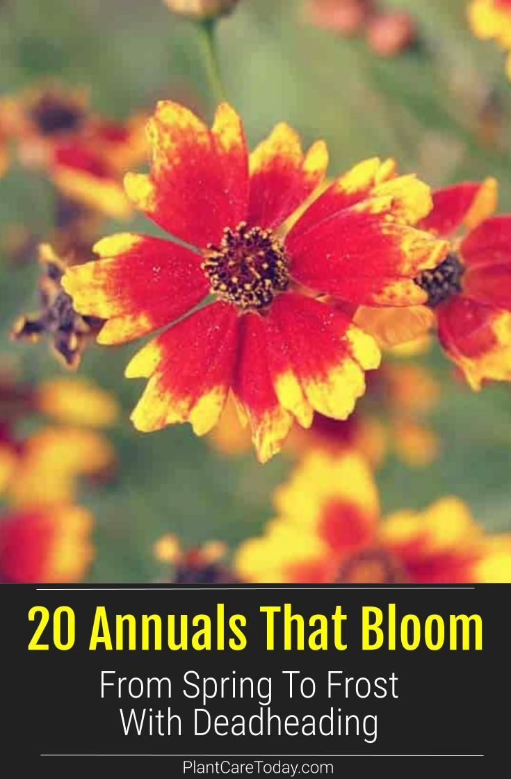 20 Annuals That Bloom From Spring To Frost With Deadheading In 2020 Growing Geraniums Annual Flowers For Shade Annual Flowers