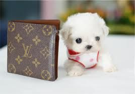 Cute little puppy, teacup dog, Maltese, yorkie, and cool doggies....