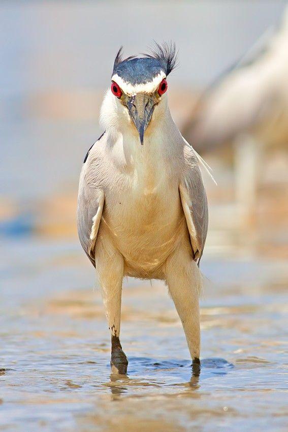 A bird with attitude: Night Heron by Roy Avraham, via 500px