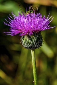 Bull Thistle - How to make thistle rennet for cheesemaking