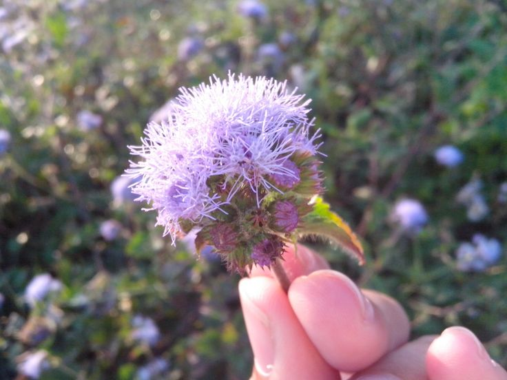 Once you pick a flower, it won't stay at the plant, be careful. Selo, August 13, 2014.
