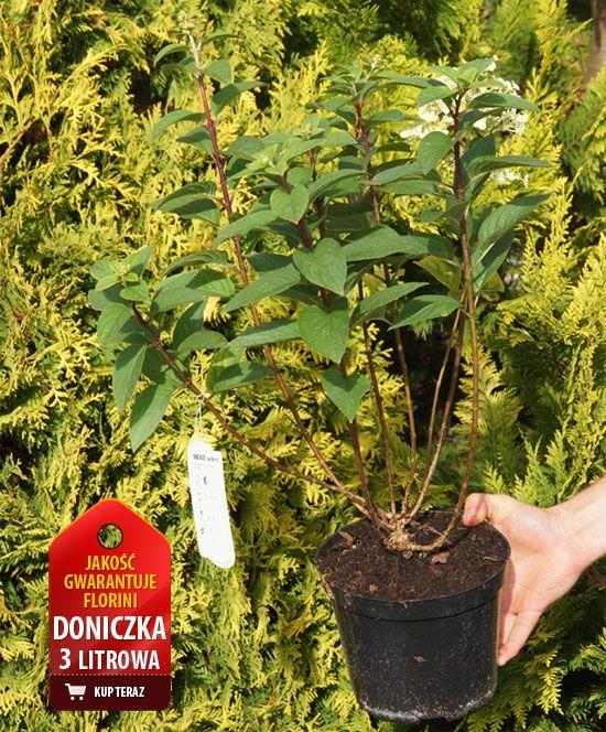 Hortensja bukietowa Little Lime Hydrangea paniculata - Krzewy liściaste - F-J - Florini.pl - Florini.pl