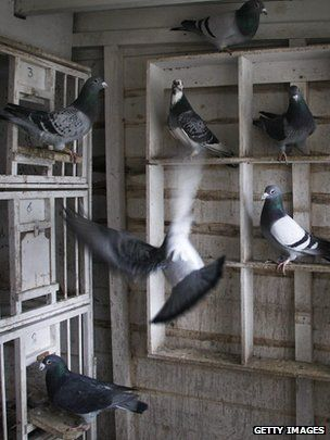 Homing pigeons roost on pallet. via http://www.bbc.co.uk/news/science-environment-21262170