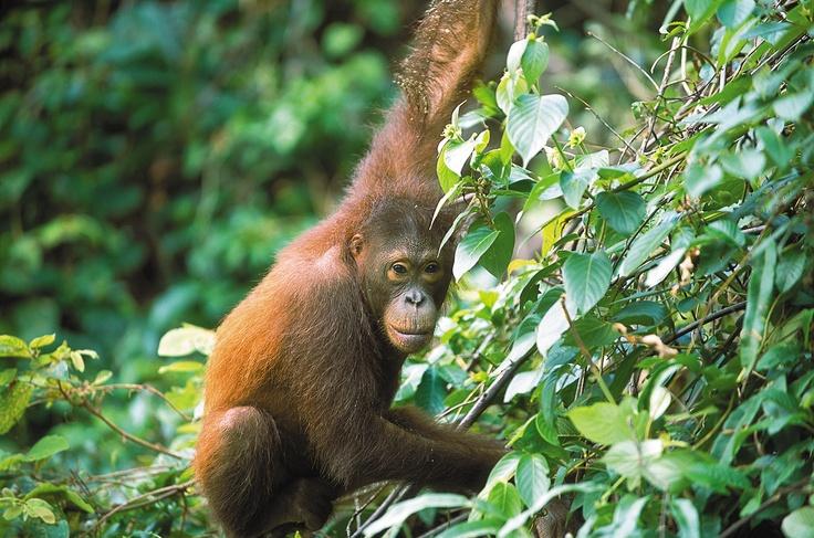 #Malaisie #Borneo L'île de Bornéo est le lieu idéal si vous vouez une passion particulière pour les singes de toutes sortes et de tous horizons.  Ne manquez pas le parc national de Bako où vous pourrez observer le rare nasique ou de simples macaques. Les sanctuaires d'orangs outans de Bornéo sont également remarquables. http://vp.etr.im/a0d4