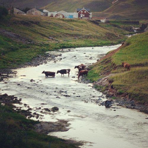 Cows crossing a river, Iceland | Flickr – Condivisione di foto!
