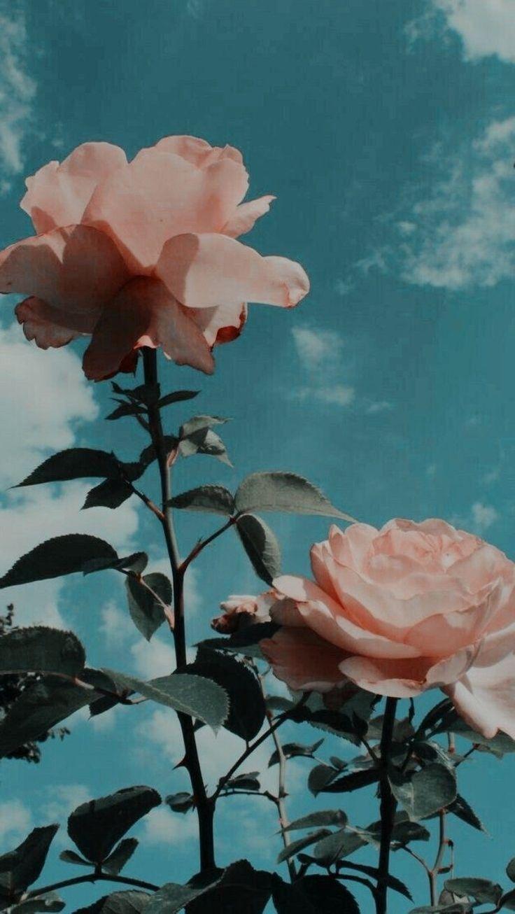 roses pink smoke #pinkaesthetic #softgrunge #softg… – #fondos #Pink