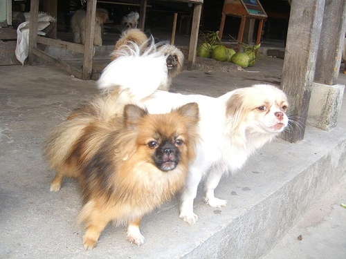 Dog Pomeranian For Sale In Glendale Ca