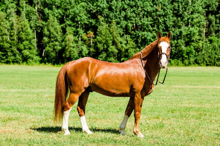 Photography: www.bartekandmagda.com Kieffer Stables / Le Club Riding Adonis birth year 2001 Gelding Color- Chestnut Thoroughbred X Clydesdale