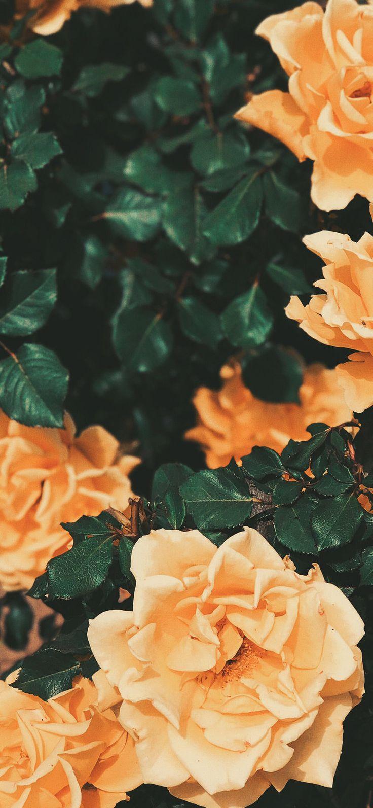 Chris evans pink aesthetic lockscreen •°`. Aesthetic wallpaper | Iphone wallpaper orange, Flower