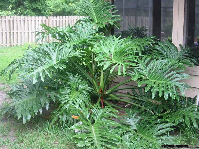 bushes for florida | Cut-Leaf Philodendron (Philodendron selloum), 6-8 ft., dramatic huge ...