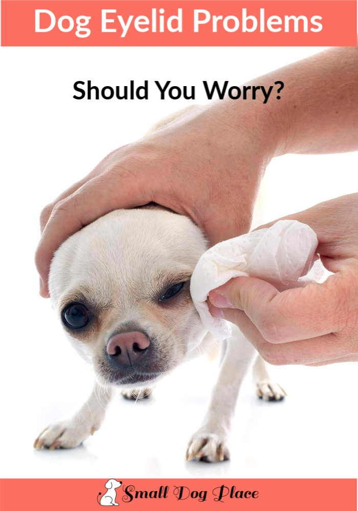 Common Dog Eyelid Conditions That Affect Our Small Dogs Dogs