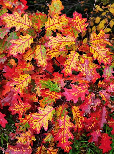 Amazing Oak Leaves ... photo from the Algonquin Highlands, Ontario, Canada.....