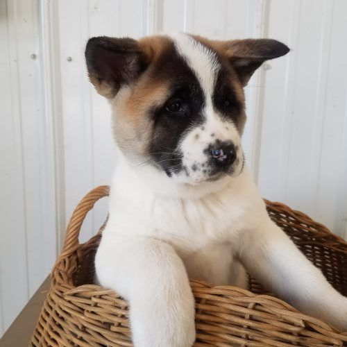 Puppies For Sale At Vip Puppies We Make It Easy For You To Find Cute Puppies For Sale Online Showcasi Akita Puppies Akita Puppies For Sale Puppies For Sale