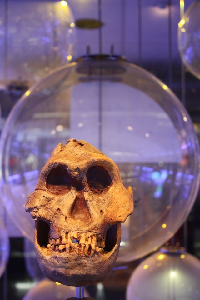 Fossil display at the Sterkfontein Caves, Cradle of Humankind World Heritage Site, Gauteng, South Africa