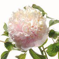 La collezione di Peonie in vendita del Centro Botanico Moutan - Bianco del giardino di pietra (Shi Yuan Bai)