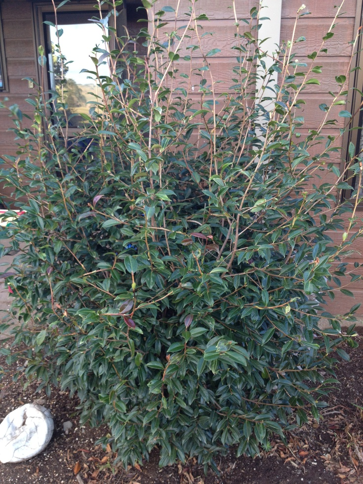 Existing Camellia. Has been well trimmed. Has pale pink flowers in late winter.