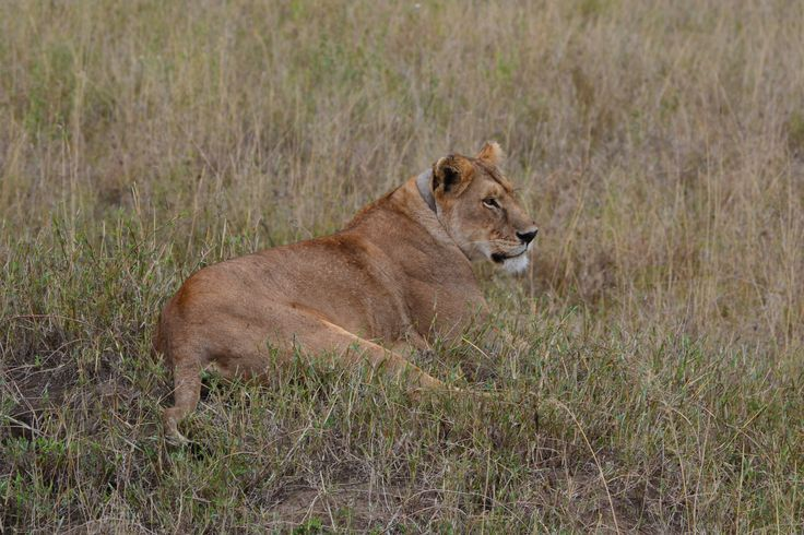 Seeing a lioness, in the wild, for the very first time was thrilling. We were so close to her, yet she didn't seem bothered by our presence. She had this stillness that was both terrifying and peaceful.
