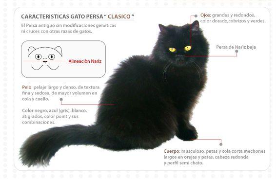 Características del gato persa - Los gatos mas tiernos y lindos Los gatos mas tiernos y lindos