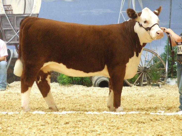 Baby Calves for Sale Nebraska   Hereford Cattle Clip Art