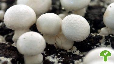 Champignons, essbar | Bild: picture-alliance/dpa