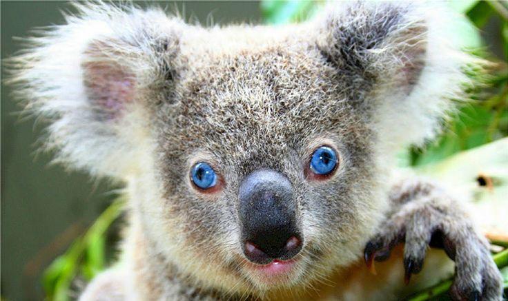 Коала. Животные Австралии