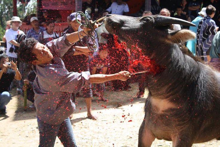 Slaughtering buffalo in Tana Toraja