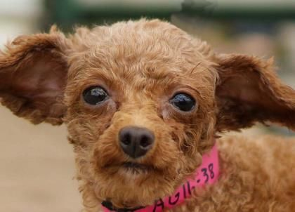 Adopt Ursa, a lovely 6 years  1 month Dog available for adoption at Petango.com.  Ursa is a Poodle, Toy and is available at the National Mill Dog Rescue in COLORADO SPRINGS, CO
