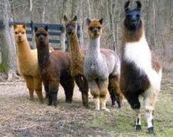Rising Sun Exotics: *Alpaca vs Llama, What are the Differences??