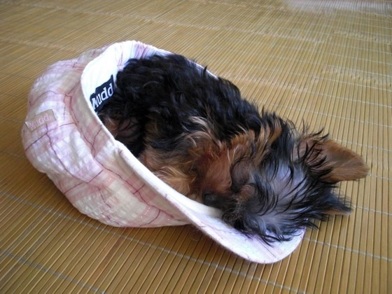 Yorkies are the cutest!