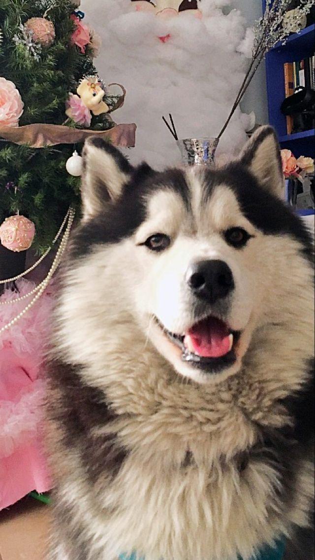 My Wolfie Husky Dogs Siberian Husky Big Dogs