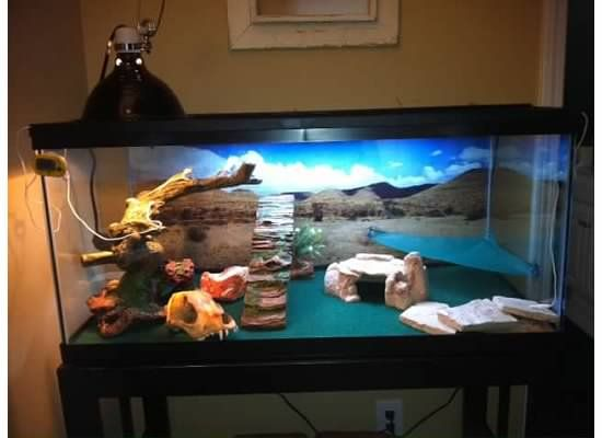 50 Gallon Tank Bearded Dragon Bearded Dragon Tank