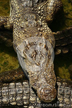 Crocodile in the crocodile farm in Bangkok