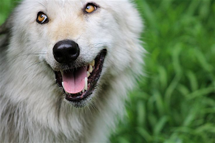 Adopt a Wolf, not too picky on which.