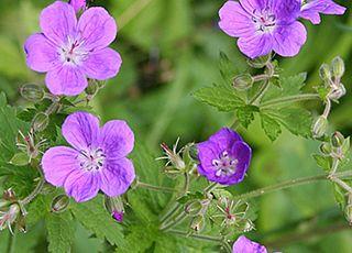Iarba Singelui (Geranium sylvaticum)