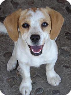 El Monte Ca Beagle Spaniel Unknown Type Mix Meet Fancy A Puppy For Adoption