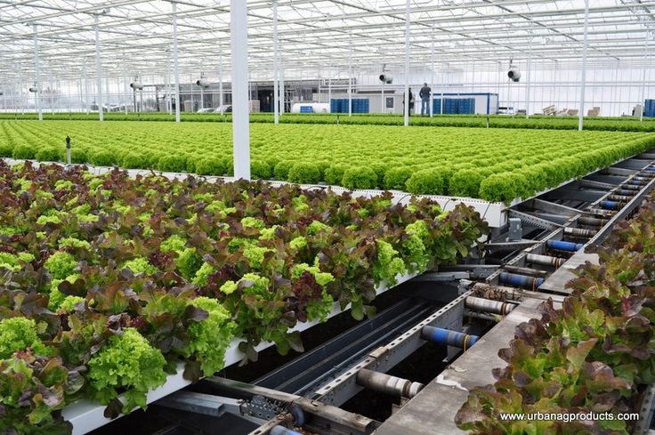 hydroponics on lettuce production essay 5 table 3 assumptions used for an economic analysis of a commercial aquaponic unit for the production of red tilapia and hydroponic lettuce 1.