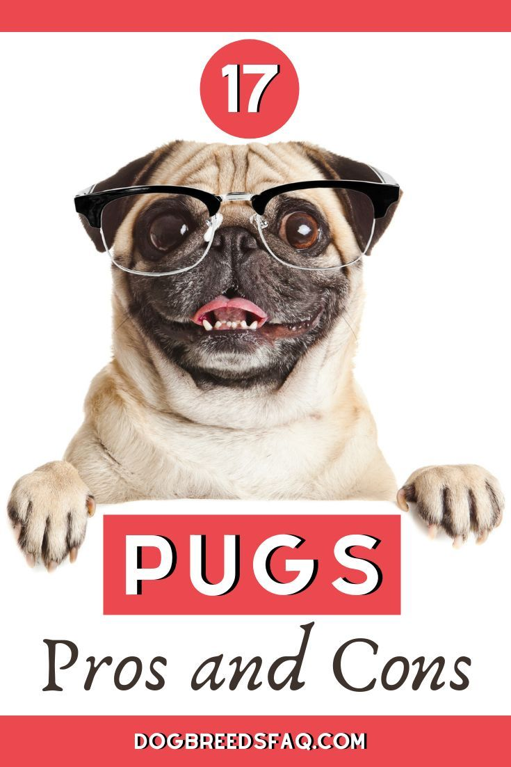 17 Pros And Cons Of Owning A Pug Pet Dogs Dog Breeds Types
