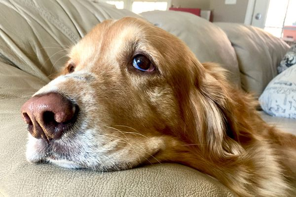 Many Dogs Circle Or Dig Their Beds Before Settling In Others Groan When Lying Down Is Dog Groaning Moaning And Sighing Anything Dog Seizures Dogs Senior Dog