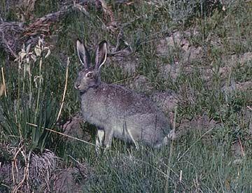 Utah Prairie Dog Scientific Name