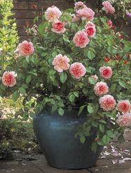 David Austin roses for containers...