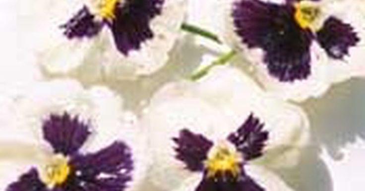 Cómo conservar flores con glicerina. ¿Cómo conservar flores con glicerina? Hay varias formas de preservar tus flores favoritas, una de ellas es sumergiéndolas los tallos en una solución de glicerina. Las flores conservadas de esta forma son flexibles y muy duraderas.