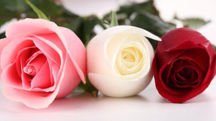 Gambar Bunga Mawar Merah, Putih dan Pink