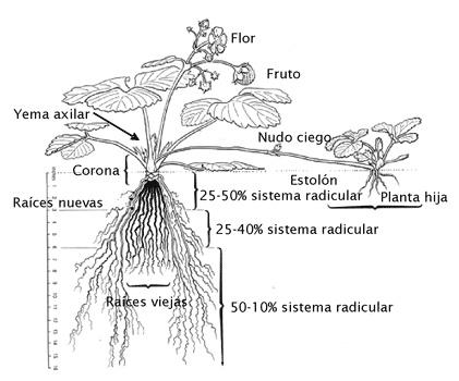planta de frutillas